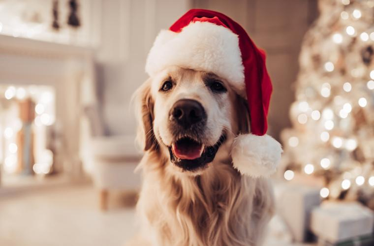 dog waiting for christmas dinner